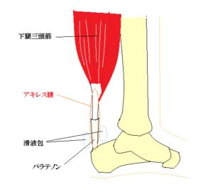 アキレス腱の構造